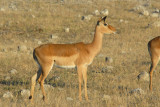 Female impala (Aepyceros melampus), Chobe National Park