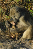 Mother baboon cuddling her infant, Chobe National Park