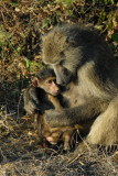Baboon grooming her infant, Chobe