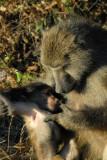 Baboon grooming her infant, Serondela Picnic Area