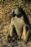 Big male baboon, Chobe National Park