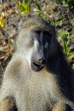 Baboon smile, Chobe National Park