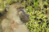 Big male baboon with signs of a recent flight, Chobe National Park
