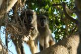 Baboons in a big tree along the Chobe River, Serondela Picnic Area