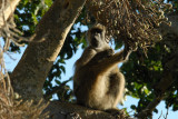 Baboon in a tree, Chobe National Park