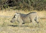 Warthog (Phacochoerus africanus), Chobe National Park