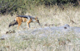Black-backed jackal (Canis mesomelas), Chobe National Park