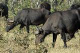Buffalo grazing as they walk, Chobe National Park