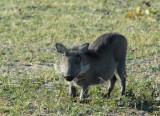 Warthog, Chobe National Park