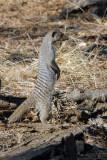 Banded Mongoose (Mungos mungo) standing