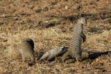 Banded Mongoose (Mungos mungo), Chobe National Park