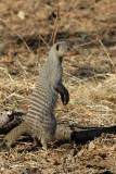 Banded mongoose, Chobe National Park
