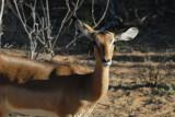 Female impala, Chobe National Park