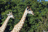 A pair of Giraffe, Chobe National Park