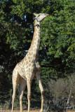 Giraffe reaching for the highest leaves