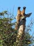 Giraffe, Chobe National Park
