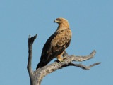 Brown Snake-eagle (Circaetus cinereus), Chobe