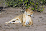 It has been a disappointing morning game drive, but as the driver was speeding back towards the lodge we came across lions