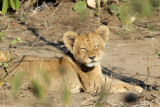 ...with cubs!  Just 500m from the park gate, Chobe National Park