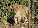 One of three small cubs, Chobe National Park