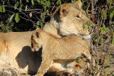 Lion cub rubbing up against mother