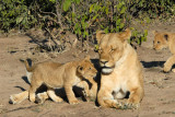 Lioness with cubs, Chobe National Park