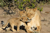 Lioness and cubs, Chobe National Park