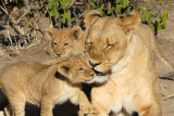 Mother lioness and cubs