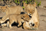 Mother lioness gives cub a little love bite