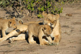 Lioness playing with her cubs