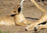 Cub grabs mother lion's tail, Chobe National Park