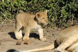 Lion cub, Chobe National Park