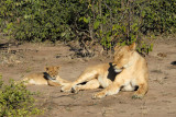 Lioness with cub, Chobe National Park