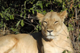 The second big lioness