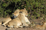 Lioness with a youngster, probably last year's cub