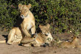 Mother lion with old cub and new cub, Chobe National Park