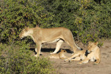Lioness heading for the bush, Chobe National Park