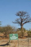 Baobab tree on the edge of Chobe National Park