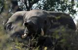 Elephant raising his trunk