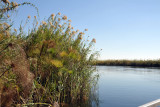 Papyrus along the crystal-clear Okavango River