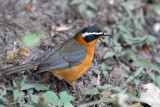 White-Browed Robin Chat (Cossypha heuglini)