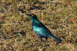 Greater Blue-eared Glossy Starling (Lamprotornis chalybaeus), Botswana