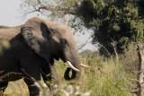 Elephant, Northern Okavango Delta