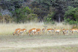 We'll have to do something about that...a herd of impala on the runway at McBride's (Hippo Camp)