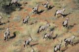 Aerial view of a herd of gemsbok (Oryx gazella), Olifantwater West, Namibia