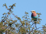 Lilac Breasted Roller, Farm Olifantwater West