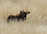 Baby gemsbok (oryx), Farm Olifantwater West
