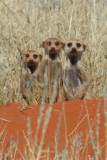 The meerkats are very shy
