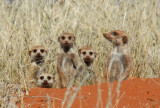 5 meercats, Olifantwater, Namibia