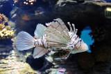 Lionfish - Sharjah Aquarium